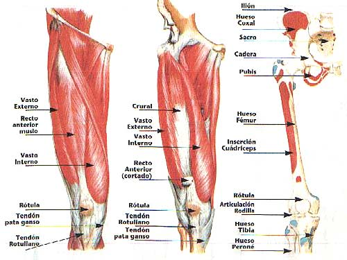 Anatomía del cuádriceps, funcionamiento y estiramiento ...