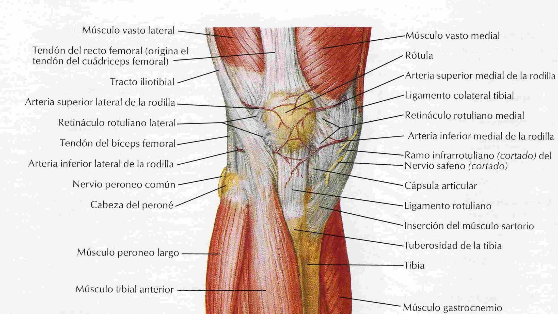 Asombroso Sartorio Anatomía Muscular Ideas - Imágenes de Anatomía ...